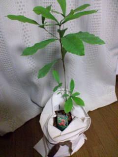 ミラクルフルーツの木