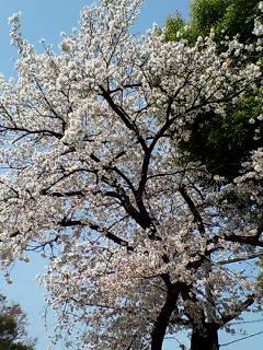 桜はまだ大丈夫