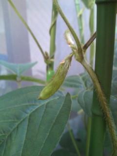 枝豆の鞘が出る