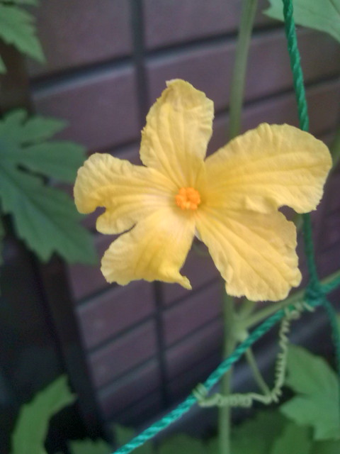 ゴーヤの花が咲く