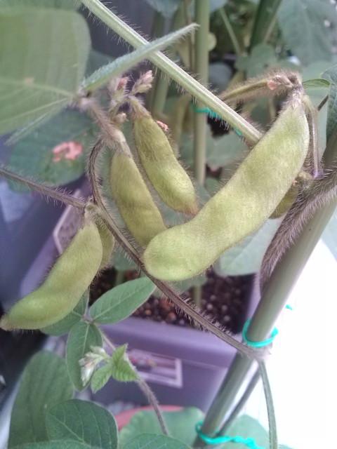 枝豆の鞘が増える