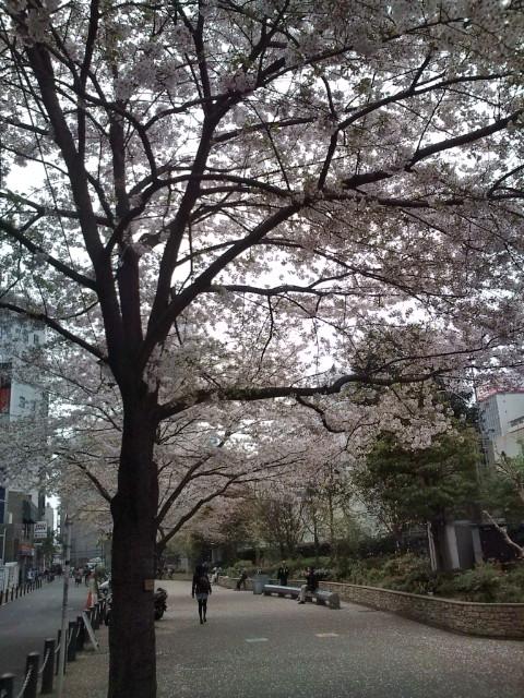 池袋駅近くの桜