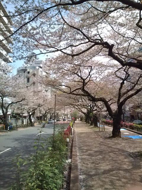 文京区播磨坂の桜