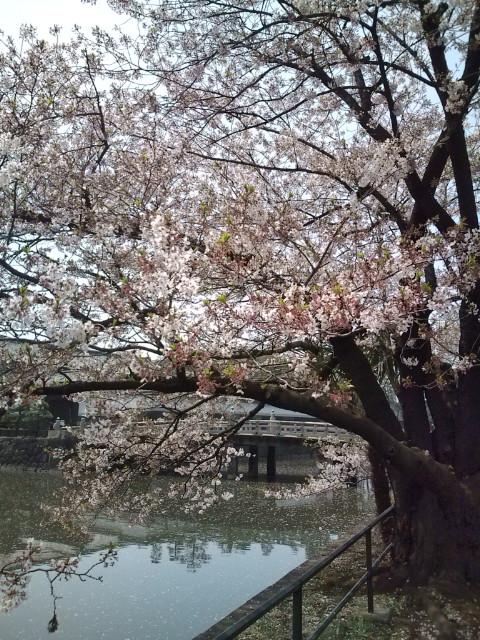 皇居平川門近くの桜