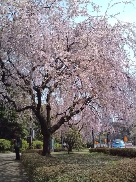 北の丸皇居入り口の枝垂れ桜