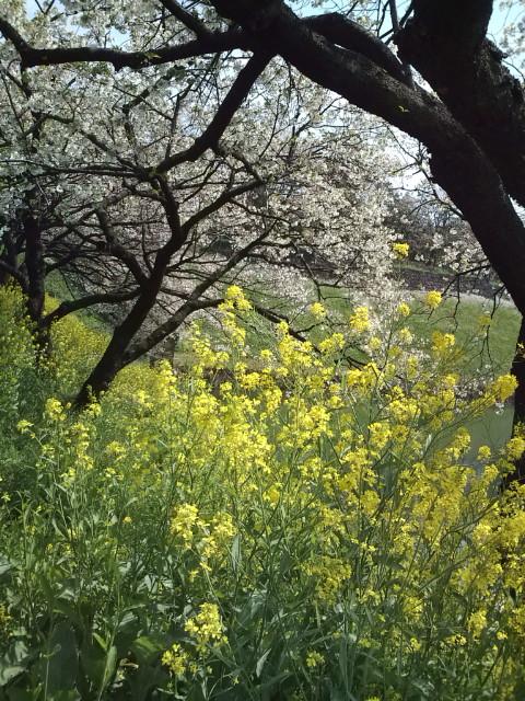 代官町通りの桜と菜の花