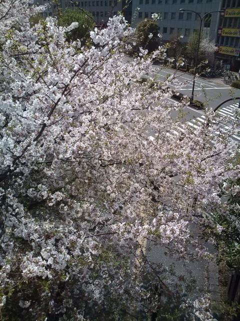 飯田橋駅前の桜