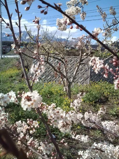 菜の花と桜と八ヶ岳