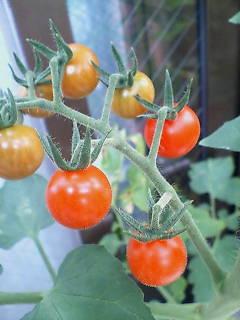 トマトが色づく