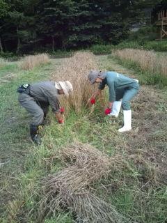 麦刈り作業
