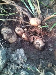 ジャガイモ収穫
