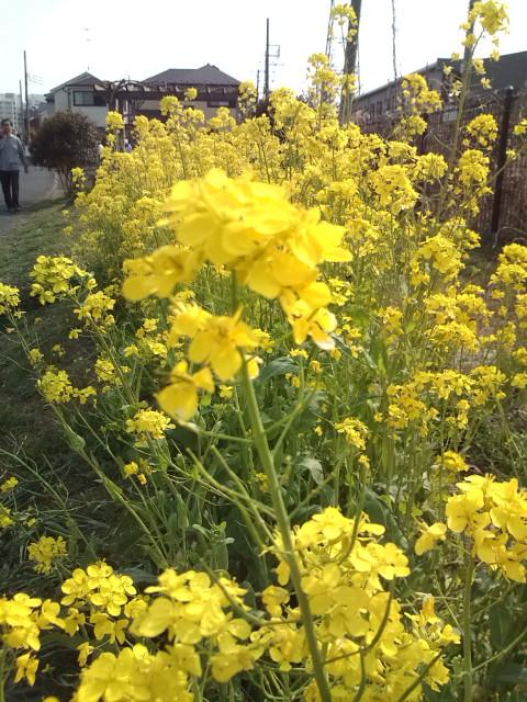江ノ島花見ラン菜の花