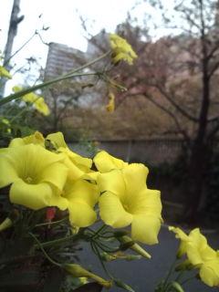 神田川沿いの花